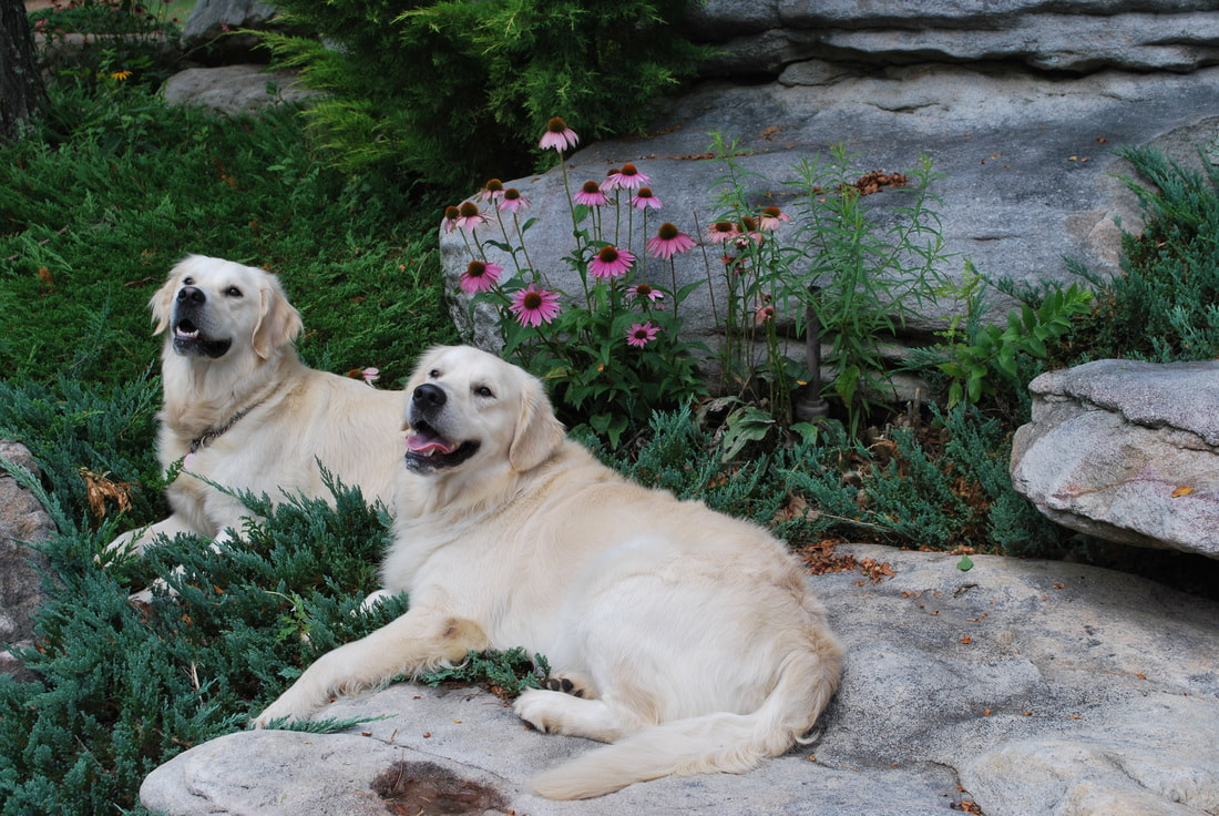 Two adult golden retrievers smiling in a bed of rocks and flowers