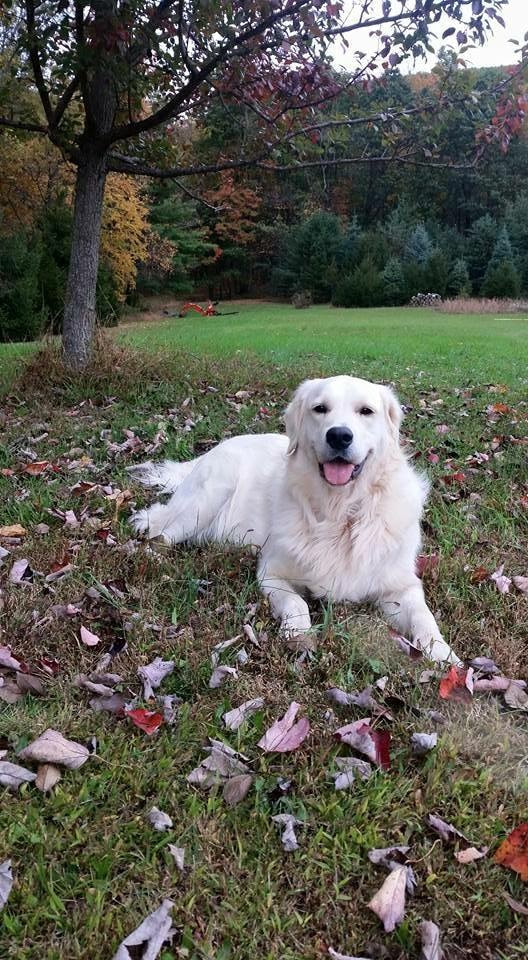 Smiling golden retriever laying in a yard full of leaves