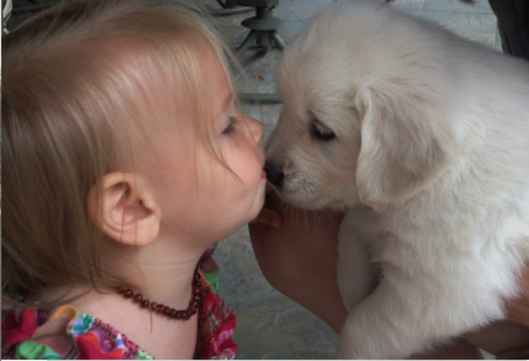 Six-week old golden retriever pup kissing female toddler